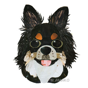 Chihuahua tri